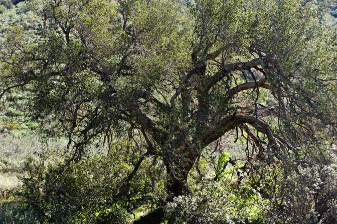 Oak tree in Black Star Canyon, Orange County, California