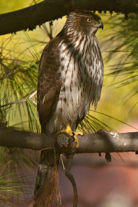 Juvenile Cooper's hawk in Irvine, California
