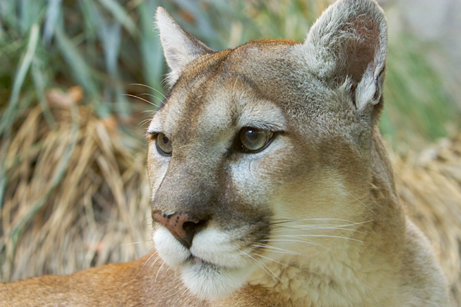 Mountain lion face - photo#17