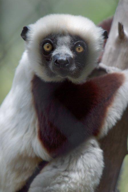 buona notte dans immagini...buona notte...e Lemur-m