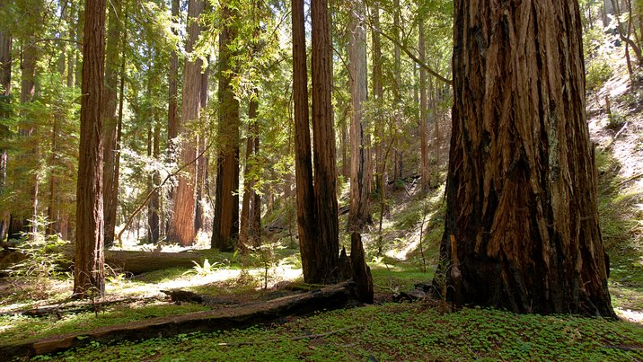 Montgomory Woods, California