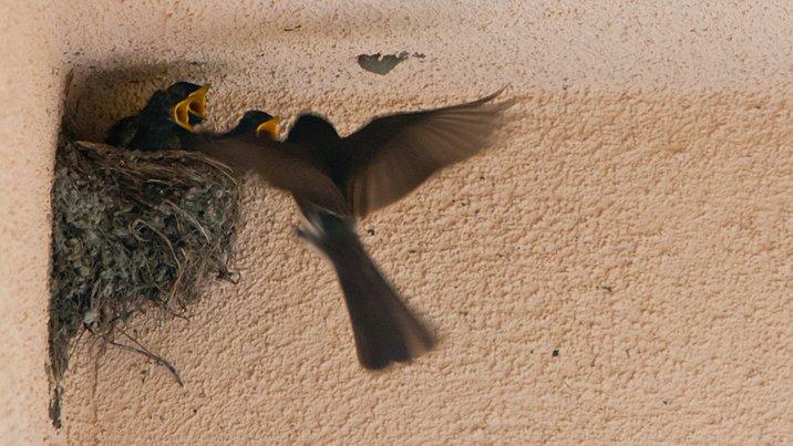 Black Phoebe at its nest