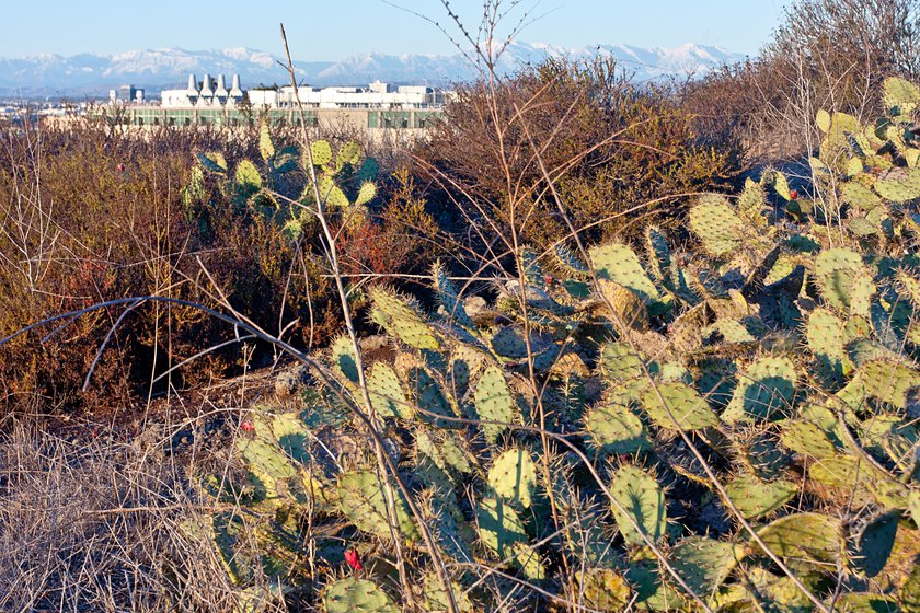 Coastal prickly pear (opuntia littoralis) with visible fruit in the University of California, Irvine Ecological Preserve, looking north towards the San Gabriel Mountains, covered in snow from a recent storm