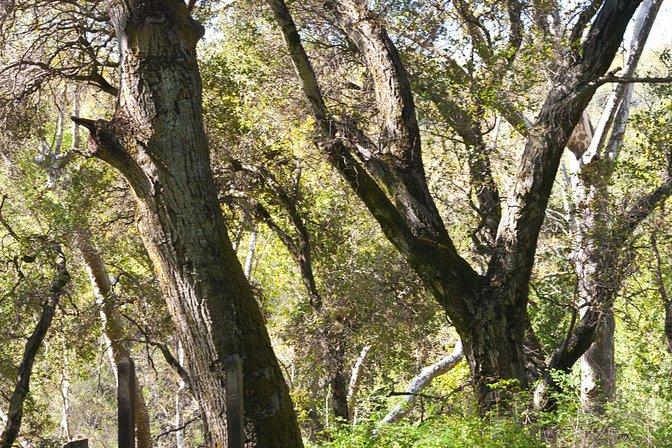 Oak tree limbs at Stevens Creek Park, Santa Clara County, California