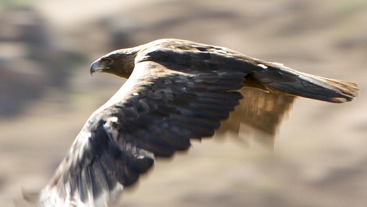 wildlife animals of eagles-cubb habitat