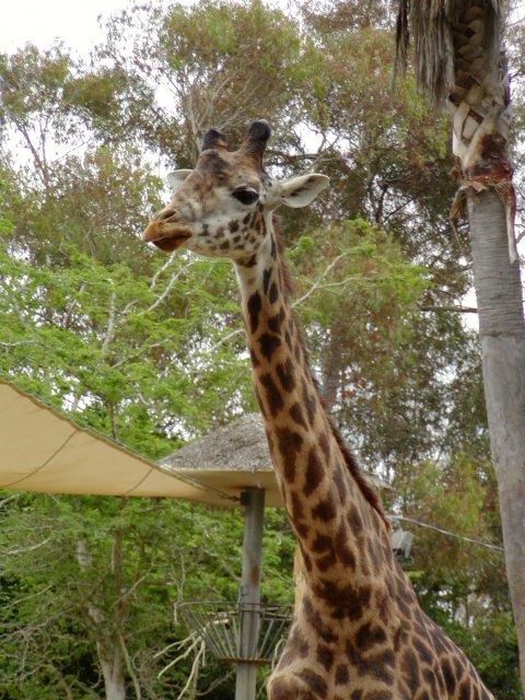 Z�rafalar (Giraffe) - Z�rafa Resimleri