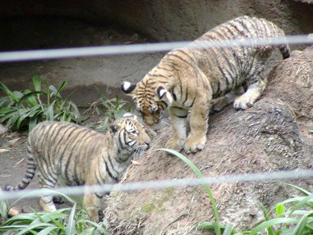 buona notte dans immagini buon...notte, giorno Tigers-m