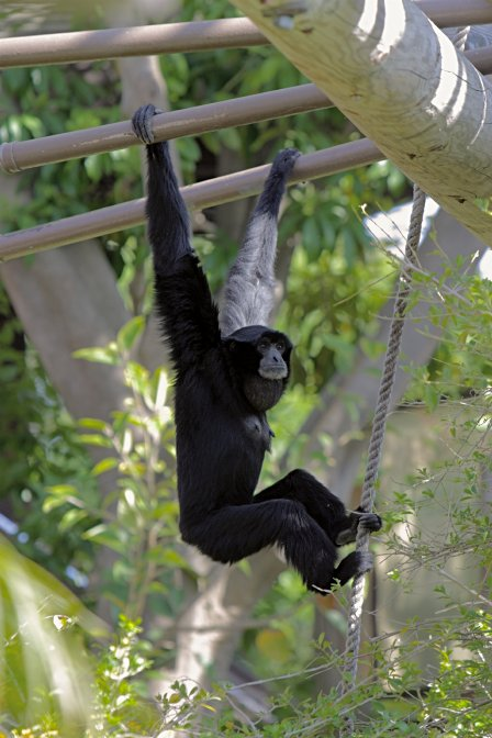 a study on the siamang a creature in indonesia thailand and malaysia A mysterious sea creature has washed up on the beach of indonesia, grabbing the interest of locals.