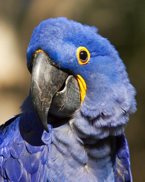225 45 15 >> Hyacinthine Macaw