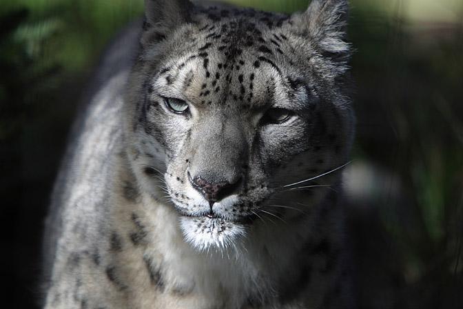 snow leopard dans animali grandi, grandi (wow!) SnowLeopard2-m
