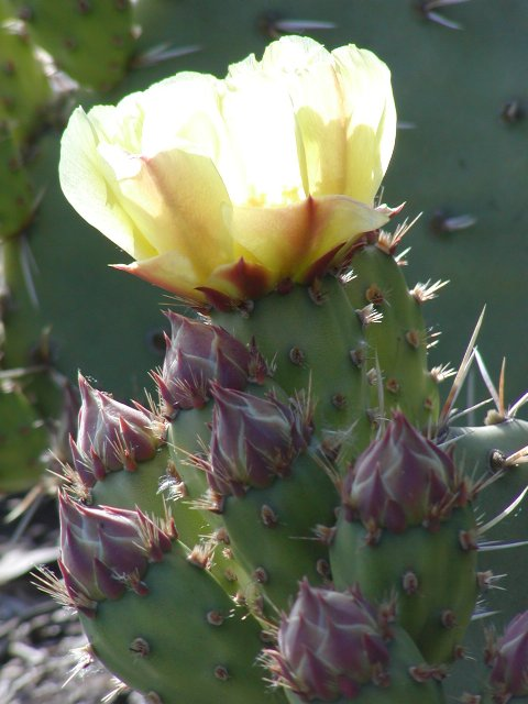 ... wildlife sanctuary next water and buildings prickly pear flower