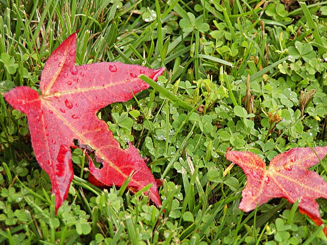 Liquid amber leaf for Amber leaf